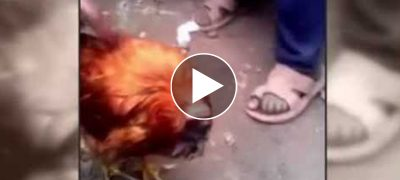 A Walking Headless Chicken: A Scientific Phenomenon or A Miracle?