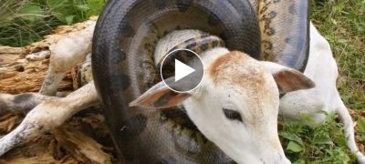 Giant anaconda attack cow watch video what happens