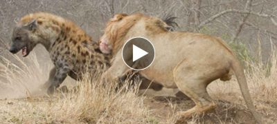 Lion and hyena terrible fight to death watch video