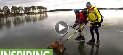 Wild Boar heroically saved from slippery frozen lake by Skaters