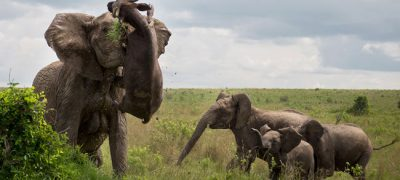 Mother Elephant Skewers Buffalo watch what happens in next