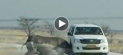 Angry rhino attack full tourist car in african safari park watch what happens