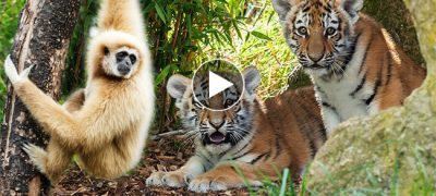 King of the Jungle?!? This Monkey Bullies Two Tiger Cub